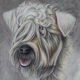 Lola_(Wheaten_Terrier_in_Coloured_Pencil) Animals by Snugbat Illustration