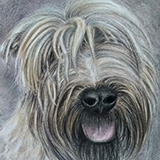 Osa_(Wheaten_Terrier_in_Coloured_Pencil) Animals by Snugbat Illustration